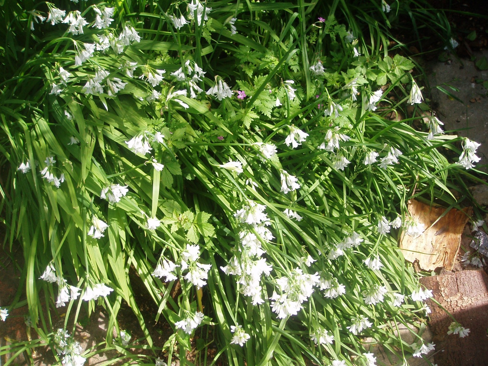 wild garlic flowers, for a great budget recipe