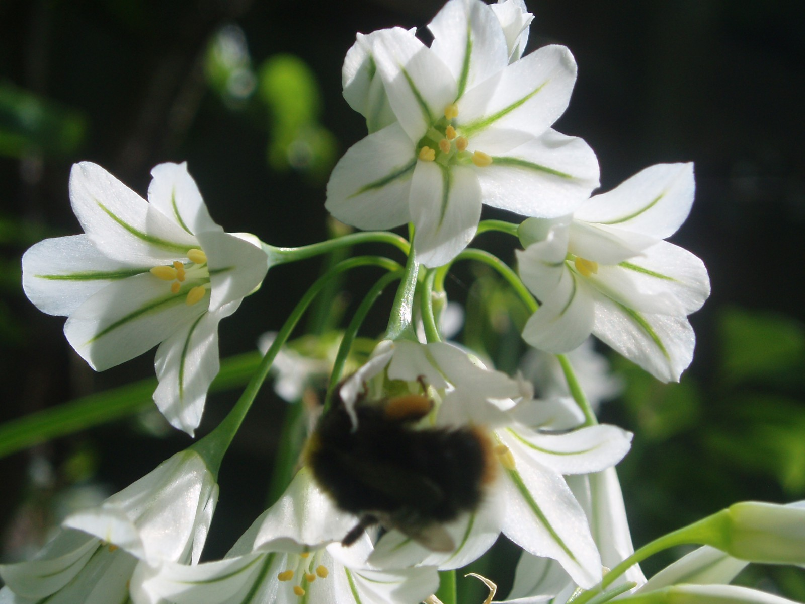 wild garlic flower for a cheap family recipe