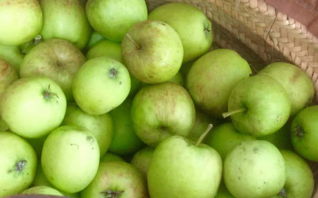 An apple harvest